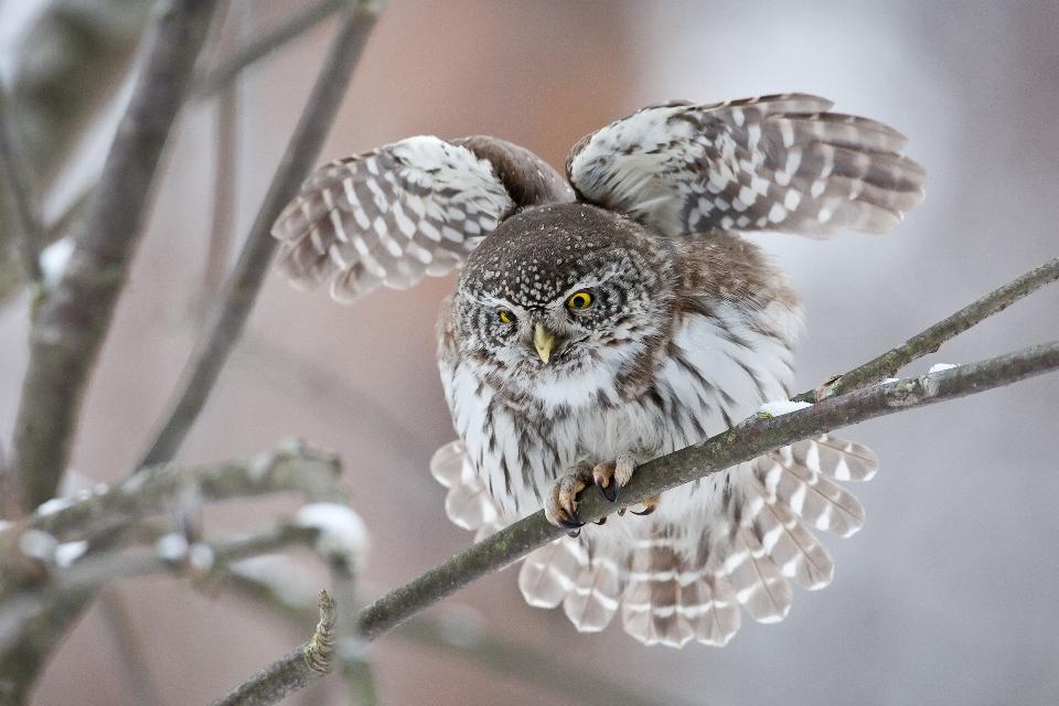 8. Tarmo Syväpuro Varpuspöllö venyttelee Hyvä tilannekuva tästä Euroopan pienimmästä pöllöstä. Tässä tikkiterävässä kuvassa on tiivis tunnelma ja pöllöllä on hieno asento. Kuvassa hieman häiritsee vasemman silmä vilkkuluomi ja kuvan vasemman reunan oksat. Suoraan edestäpäin kuvattuna ja tasaisemmalla taustalla tässä tilanteessa olisi voinut syntyä voittajakuva!