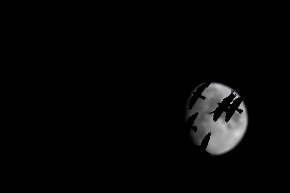 Teemu Sirkkala Naakat kuutamolla Erittäin hyvin toteutettu kuva. Ilmeisesti kuvaaja on käyttänyt alivalotusta ja saanut sillä kuvaan heti mustat sävyt, eikä kuu ole ylivalottunut. Kuutamoa vasten lentävät naakat ovat tarkkoja, rajaus on mielenkiintoinen. Naakat ovat nykyään taajamissa sen verran yleisiä, että jokainen lintuharrastaja on varmasti nähnyt niiden iltalennon. Mutta vaikka kohde on yleinen, naakkojen kuvaaminen kuutamoa vasten on haastavaa, suorastaan vaikeaa. Kuva olisi pärjännyt myös aikuisten sarjassa.